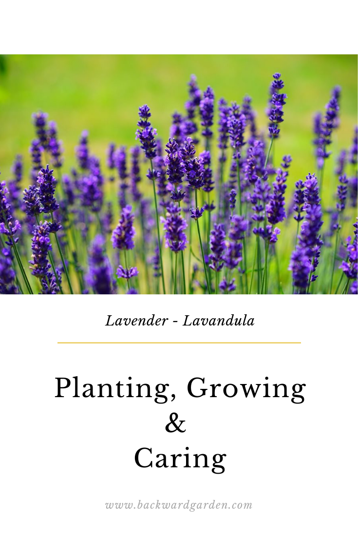 Lavenders Are Great Perennials Full Of Talents They Are Grown For