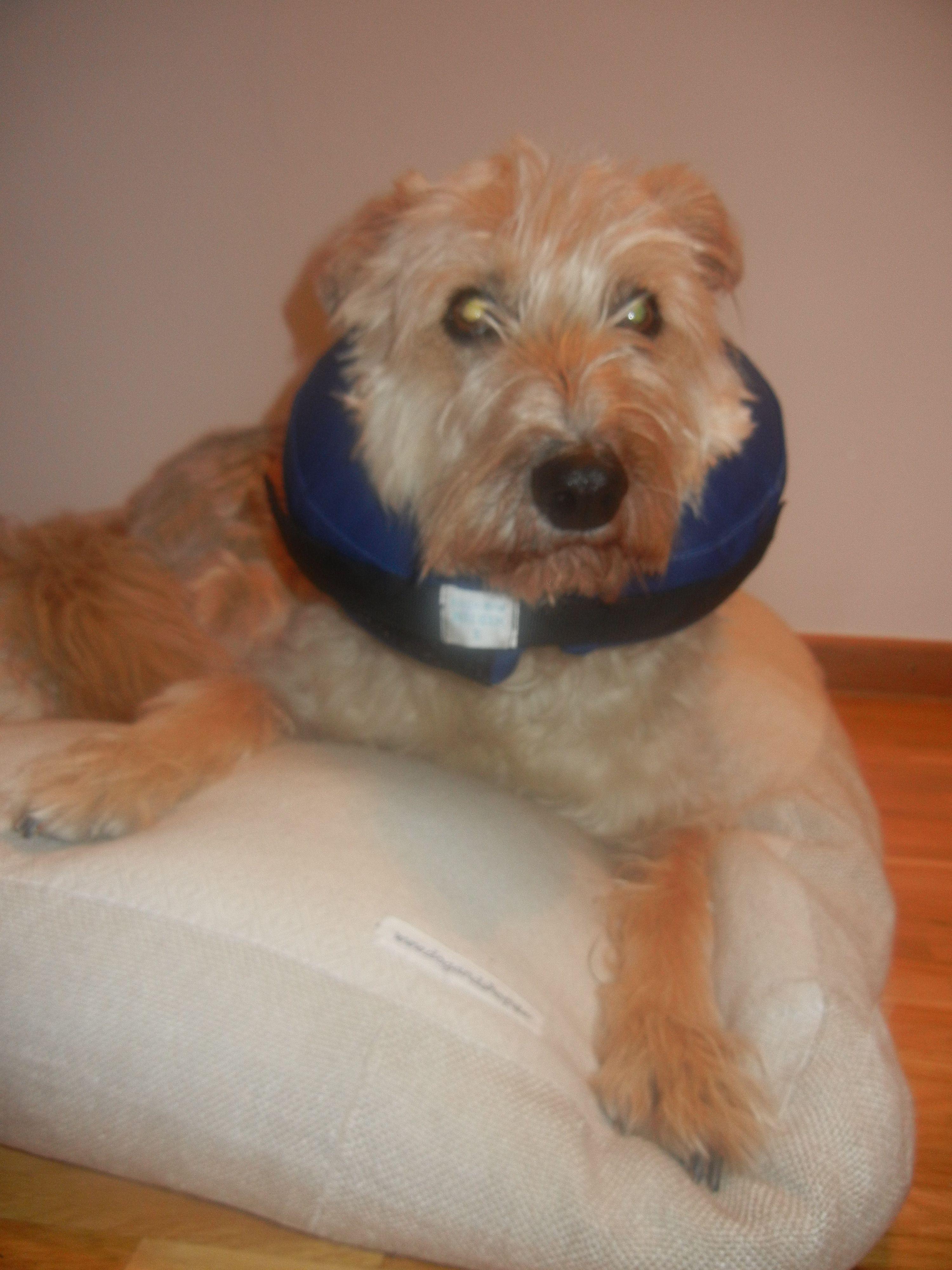 Der Aufblasbarer Halskragen Fur Hunde Ist Ideal Nach Operationen Oder Bei Hauterkrankungen Die Halskrause Fur Hunde Verhi Hunde Hund Und Katze Hund Zubehor