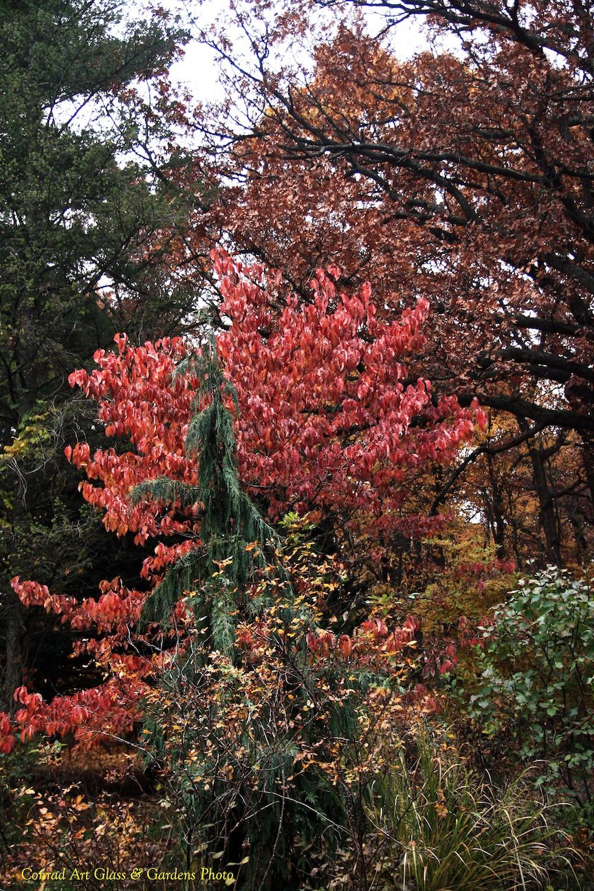 A Cornus Florida Of Hardy Michigan Stock Displays Its Color While An Alaskan Cypress Accompanies It Under The Giant Arms Of A Beautiful Places Oaks Cypress