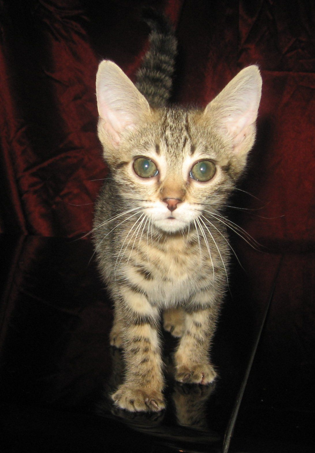 Bengal and Savannah kittens for sale Abambu Cattery