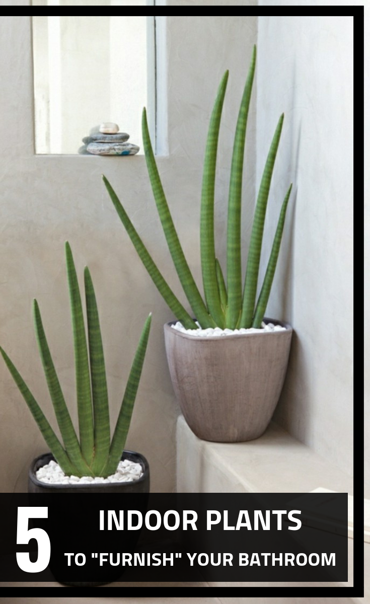 Sansevieria Plant Feng Shui 5 indoor plants to furnish your bathroom - 101gardentips