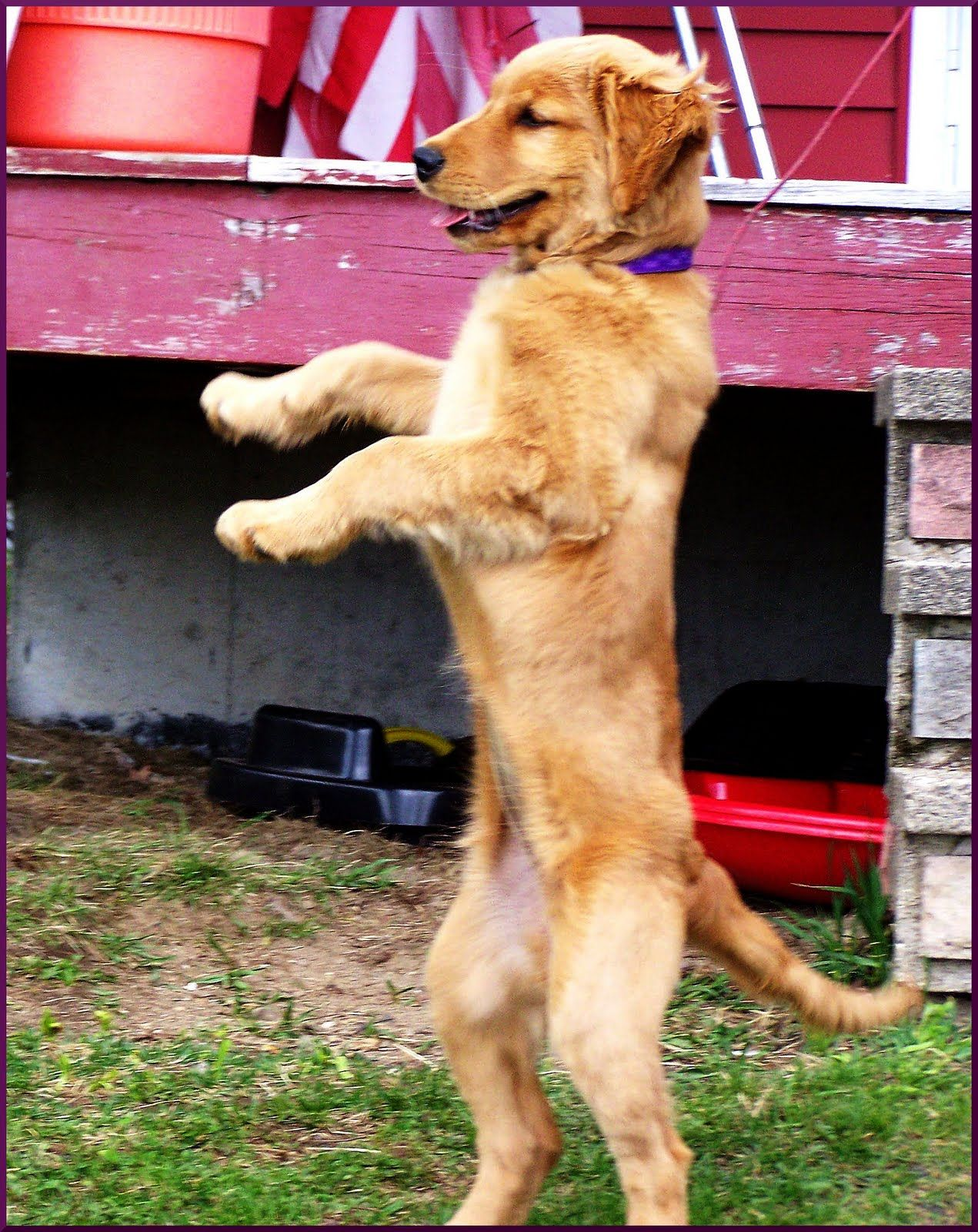 Dancing Golden Retrievers Click On The Image For Additional