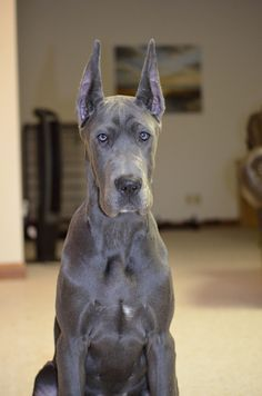 Chocolate European Great Dane Too Bad His Ears Are Cropped