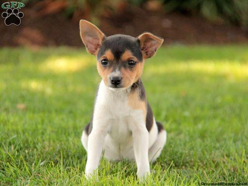 Gigi Bichon Mix Puppy For Sale In Pennsylvania Fox Terrier