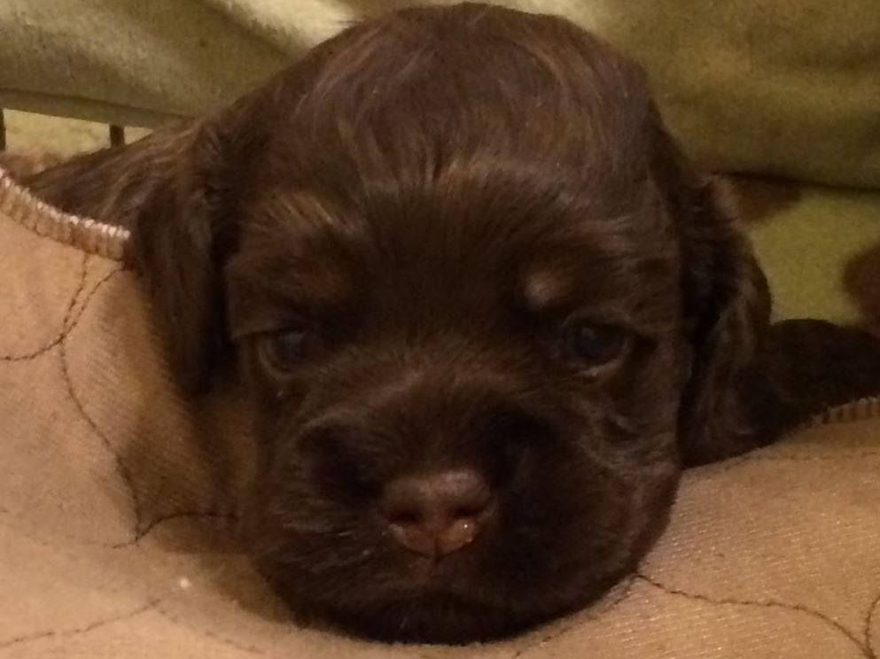 Max Cockers Has Cocker Spaniel Puppies For Sale In Franklin Lakes