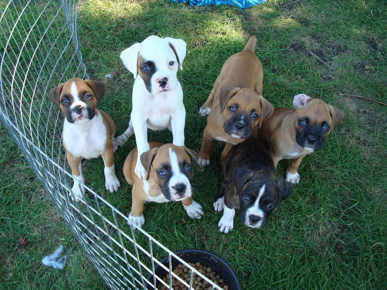 Boxers Puppies ♡ Boxer dogs funny, Boxer puppies, Boxer