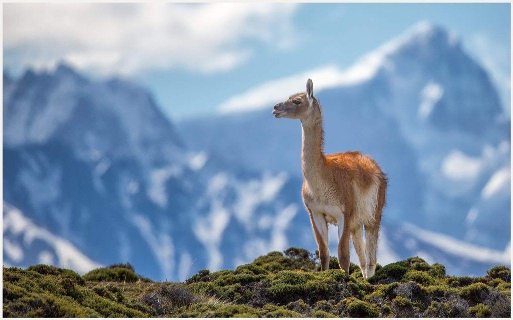 Lama Animal Wallpaper lama animal wallpaper 1080p, lama