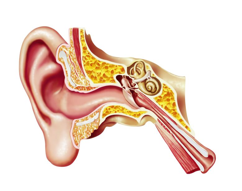 Human ear cutaway diagram saving vippanas brain pinterest human ear cutaway diagram ccuart Choice Image