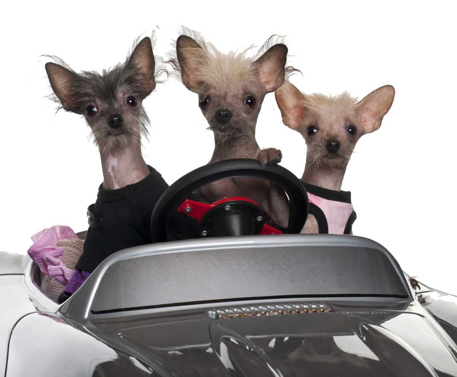 Pet Taxi Amarillo 3 Tiny Chihuahuas Driving A Car Pettaxi Pet