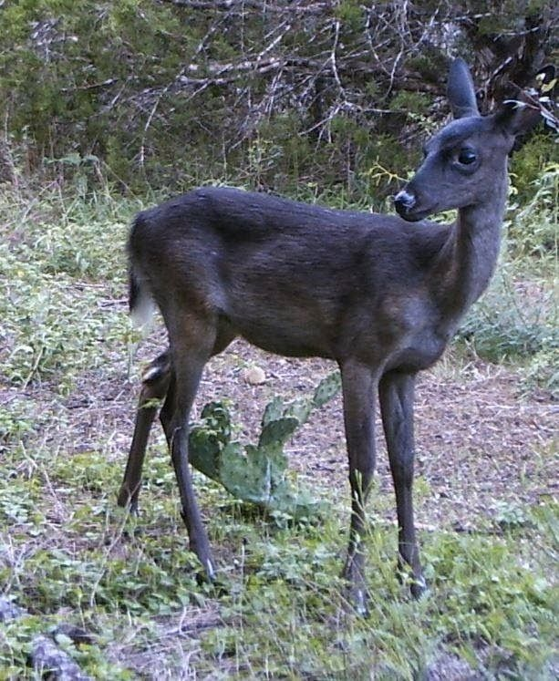 Melanistic Deer Whitetail Deer Melanistic Deer