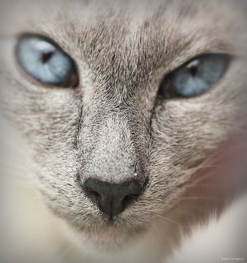 He Looks Exactly Like My Siamese D Grey Cats Cat With Blue Eyes Pretty Cats