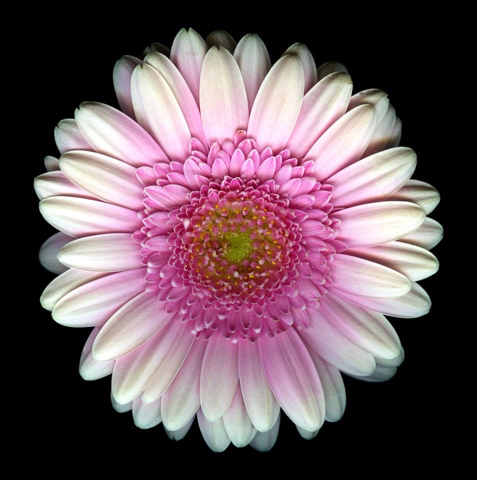 G is for gerbera daisy flower blog fresh flower friday gerbera g is for gerbera daisy flower blog izmirmasajfo Gallery