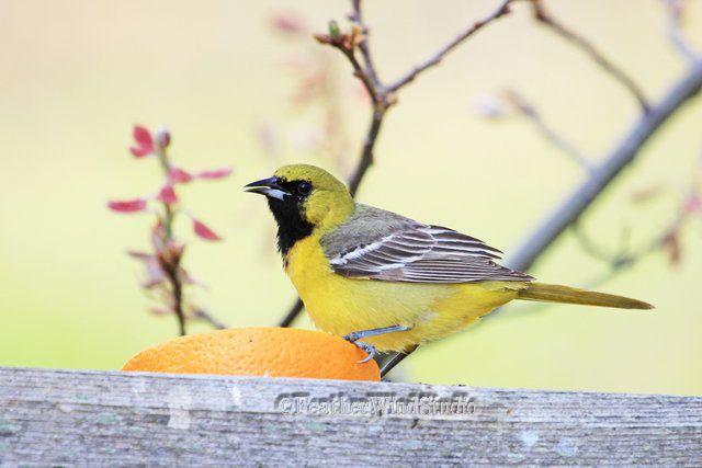 Orchard Oriole Photo | Blackbird Wall Art | Yellow Nature Decor ...