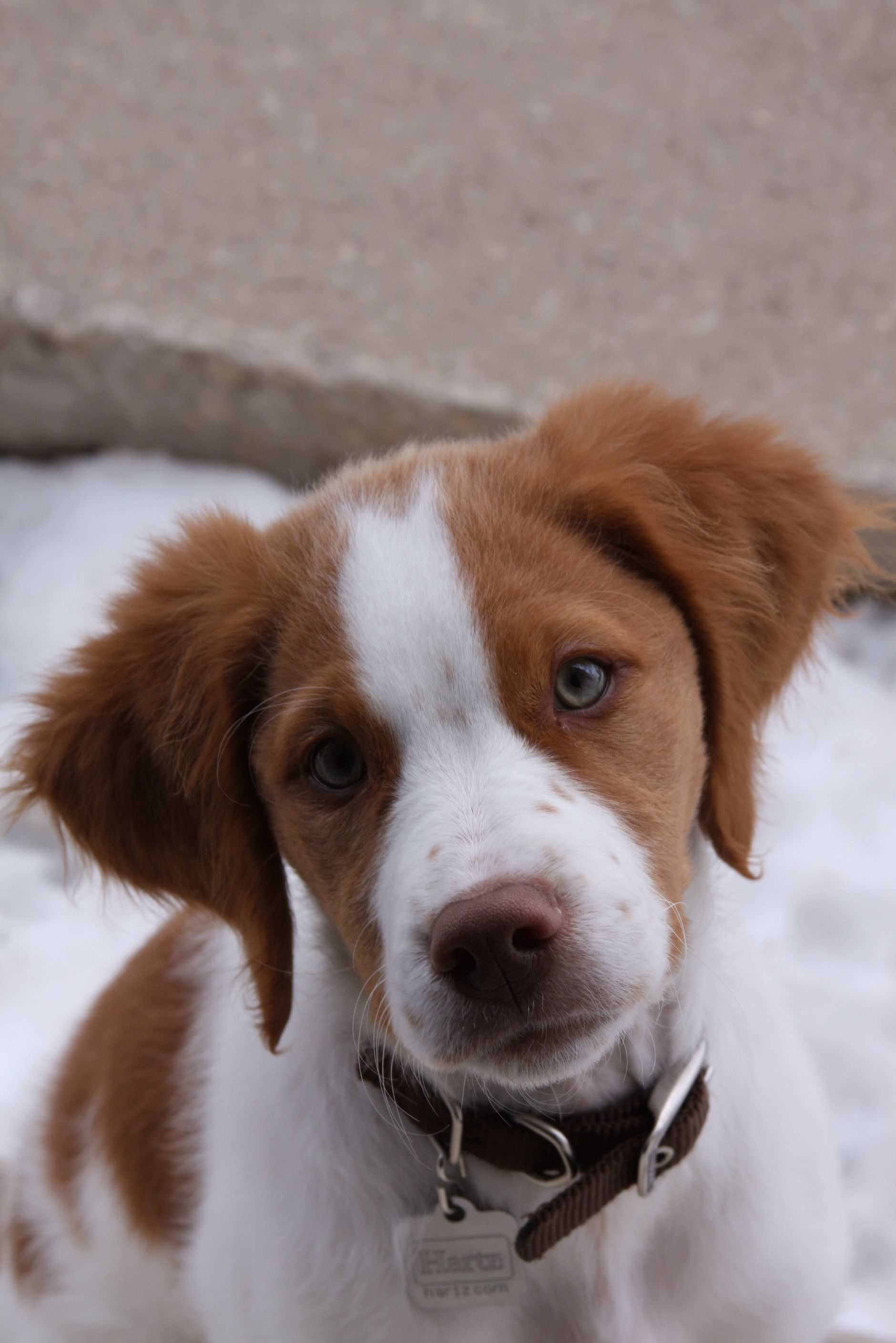 Brittany Puppy This Is My Puppy Audrey Brittany Puppies Brittany Dog Puppies