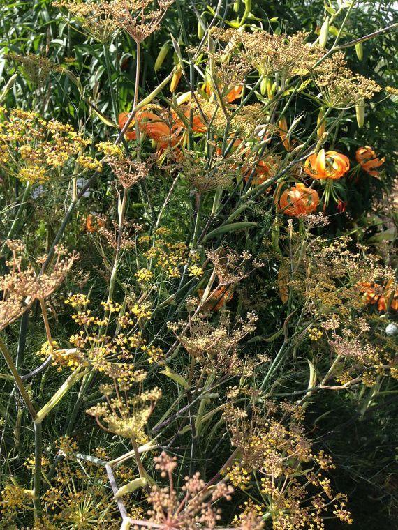 Bronze Fennel Seeds Organic Foeniculum Vulgare Erfly Garden Swallowtail Host Plant
