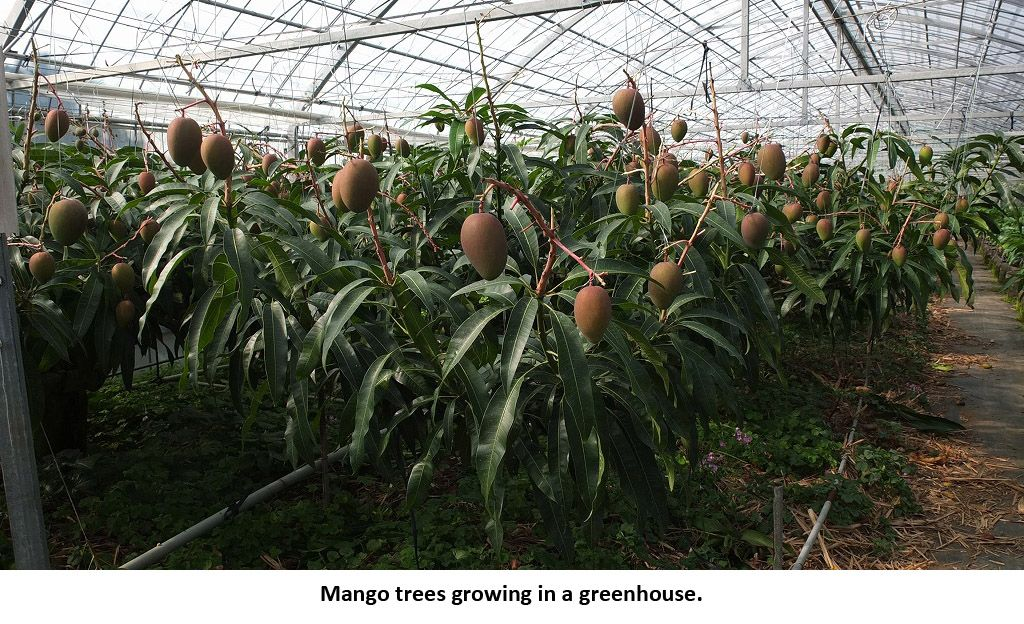 Mango Trees Growing In A Greenhouse Mango Tree Greenhouse