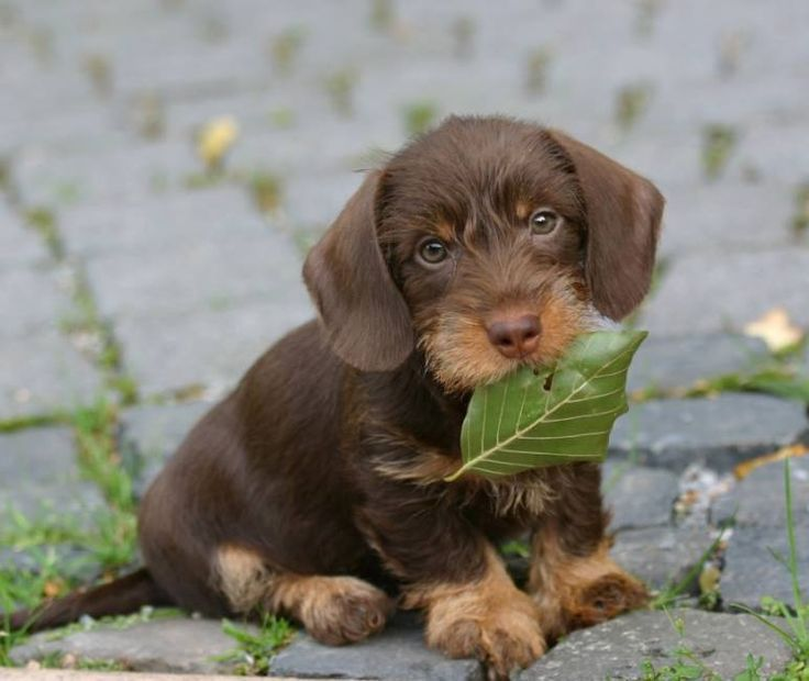 This isn\'t what you threw? | Dachshunds | Pinterest | Dachshunds ...
