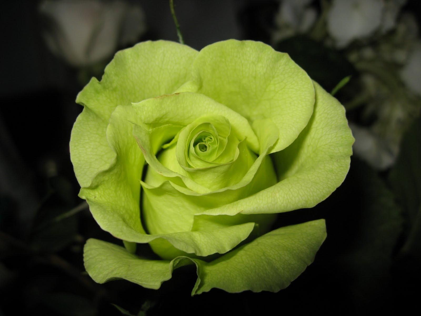 The Meaning and Top 19 Beautiful Green Roses | Green rose, Beautiful ...