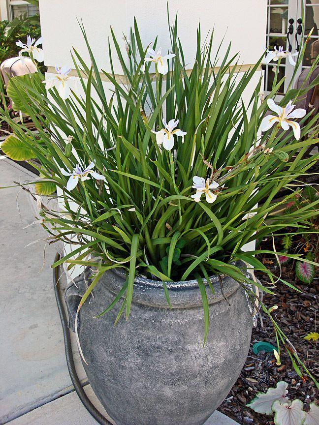 A Big Happy Pot Of African Iris In My Garden Pinterest