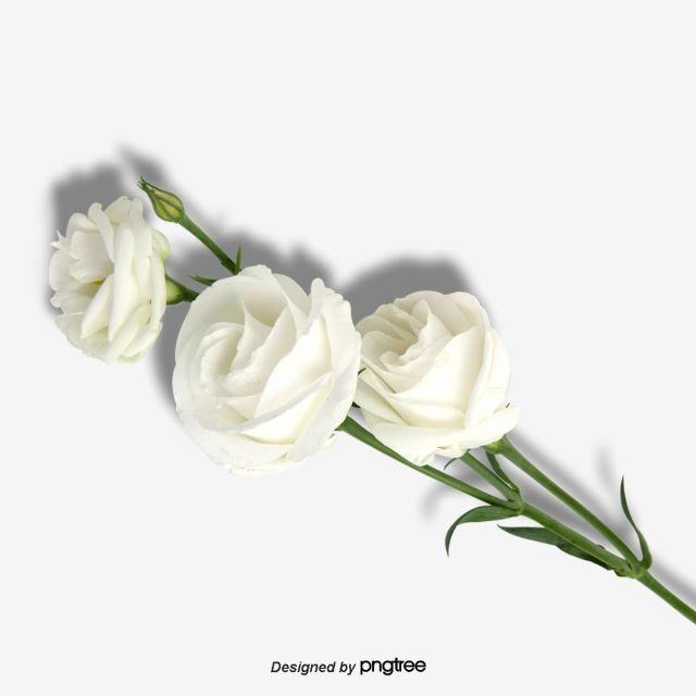 Aesthetic White Rose Element White Roses Background Pink Roses Background White Rose Png