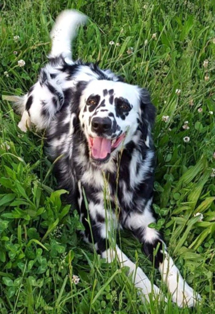 Long Haired Dalmation Rare And Gorgeous Dalmation Puppy Dalmatian Puppy Dalmatian Dogs