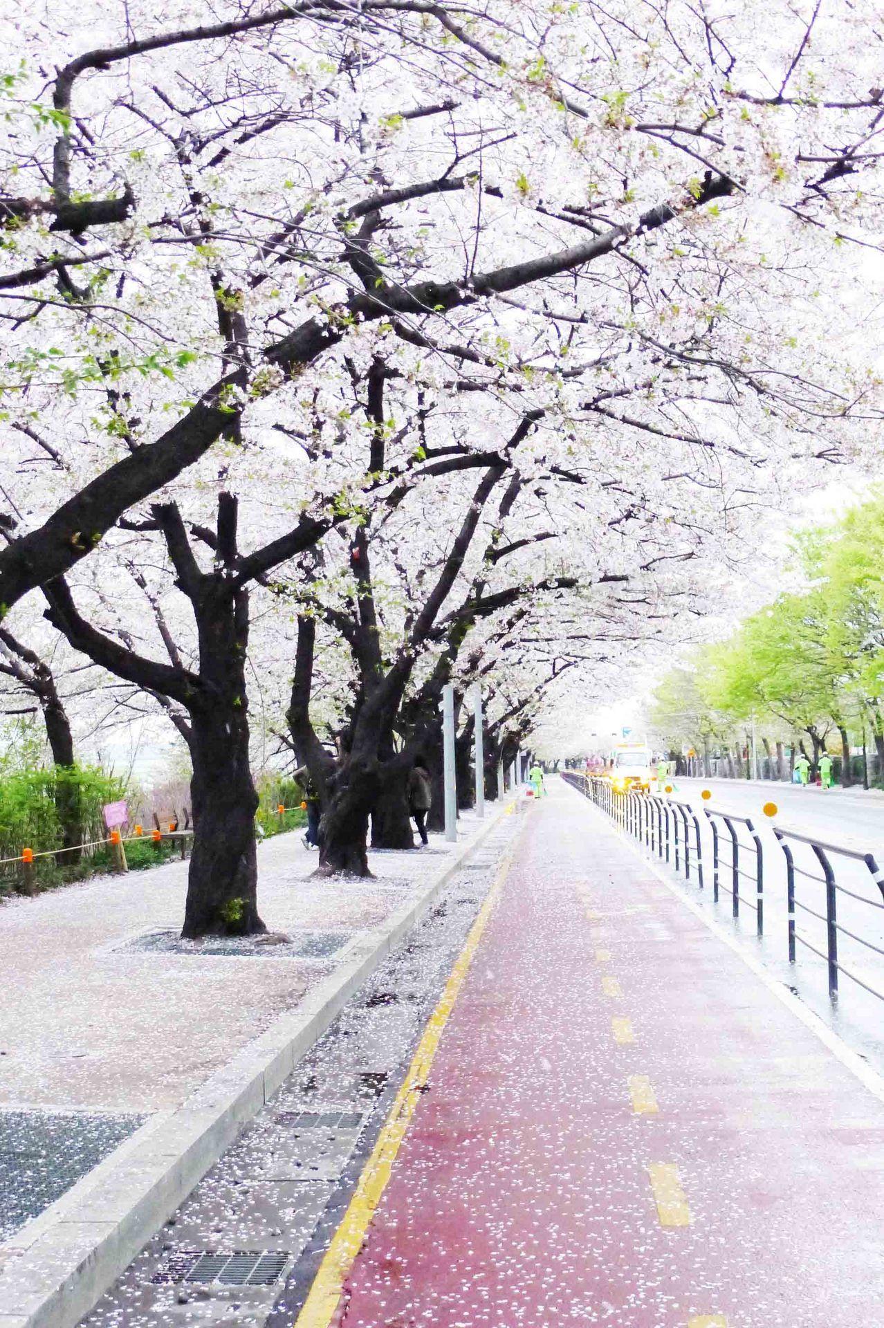 Spring Beauty Jinhae Korea Jonghoon Chun South Korea Seoul Korea Travel Beautiful Places