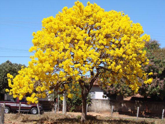 25 seeds tabebuia caraiba sillver trumpet tree yellow trumpet 25 seeds tabebuia caraiba sillver trumpet tree yellow trumpet tree mightylinksfo