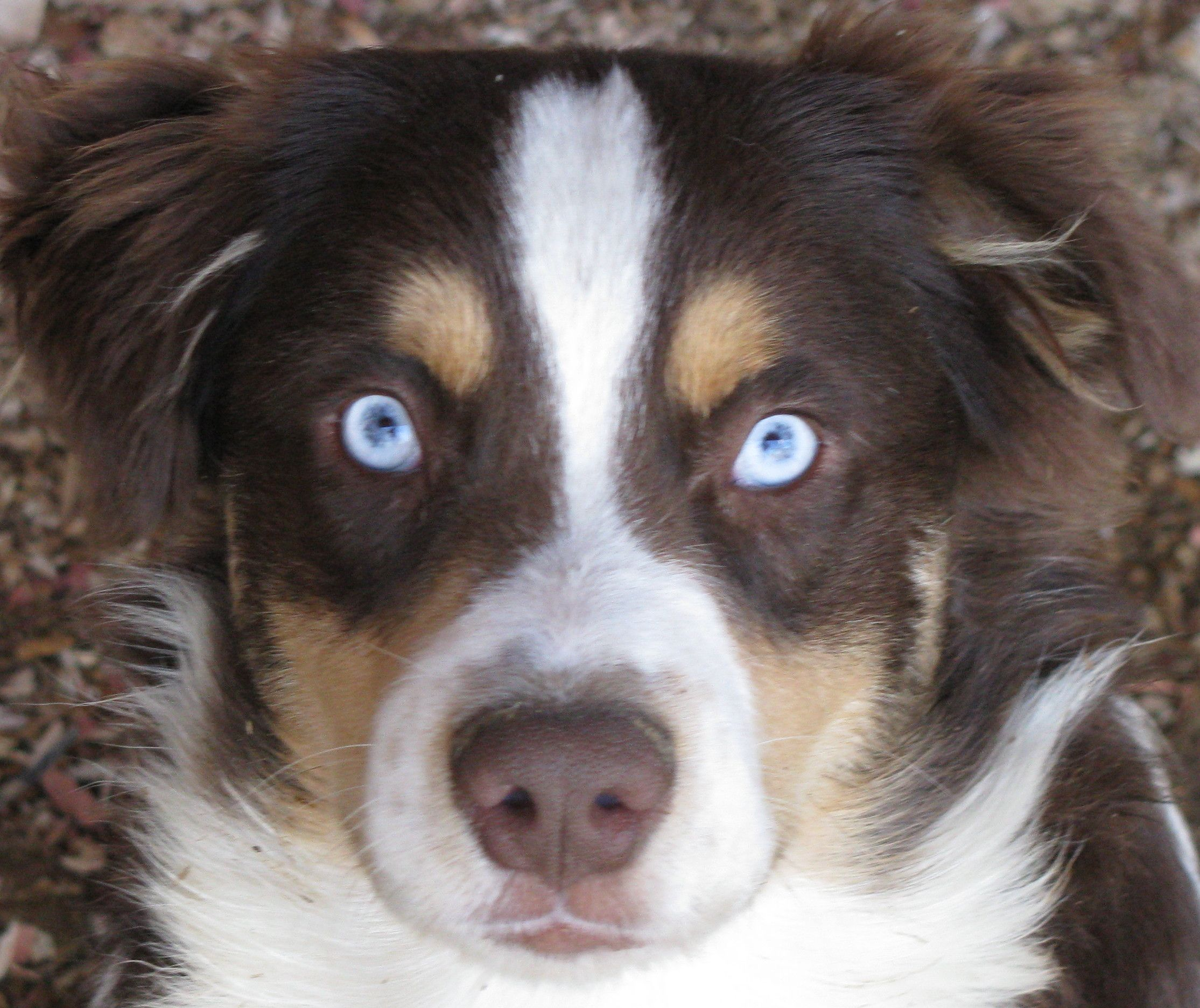 Australian Shepherd Red Tri What We Call A Bet Blue Eyed Tri