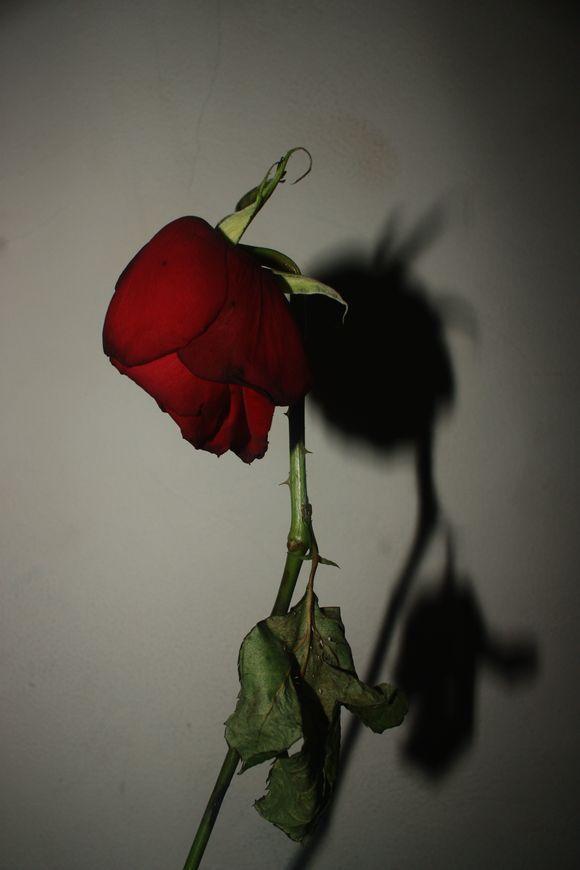 Pin On Sad Rose