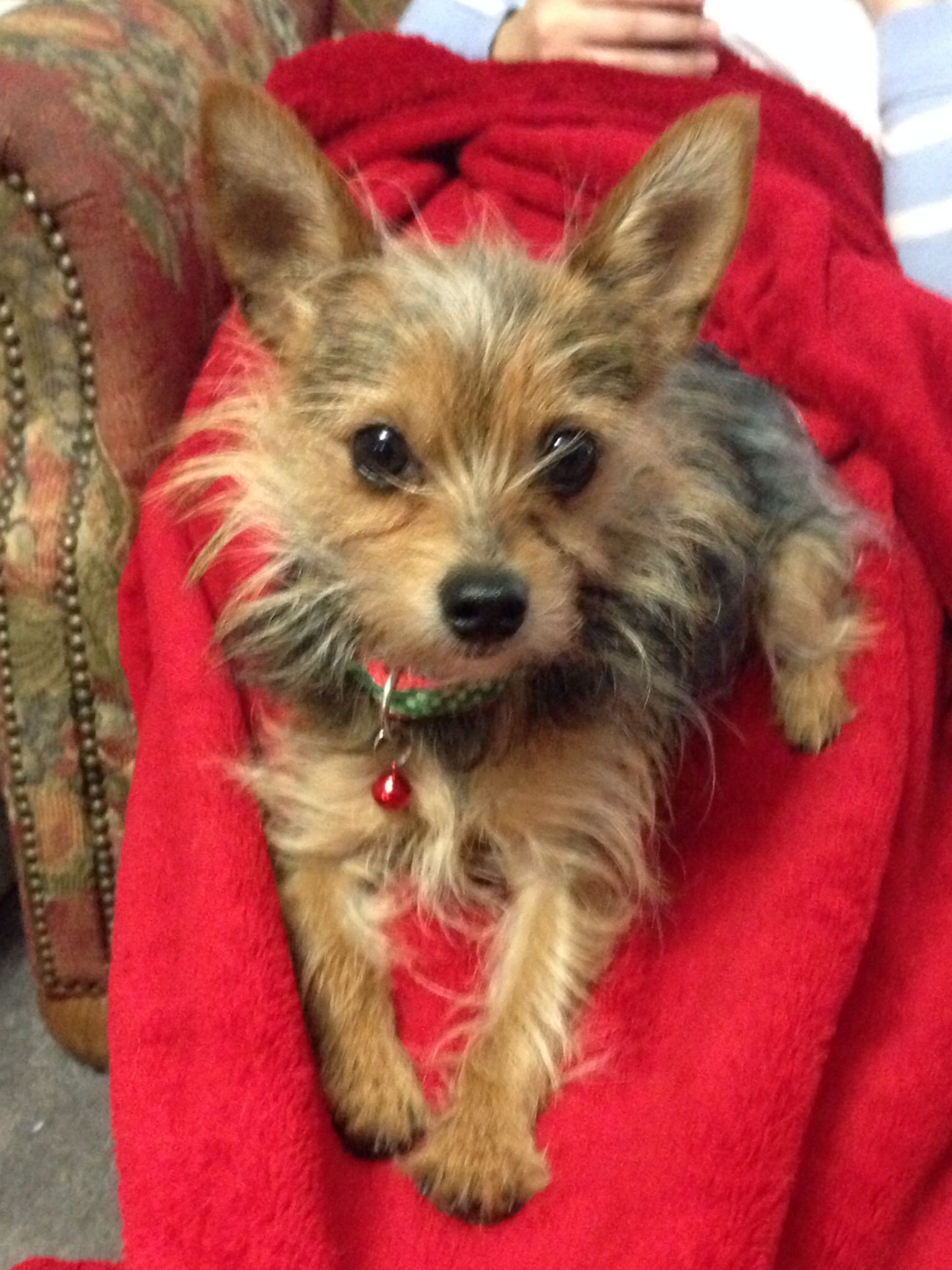 Pin On Yorkie And Chihuahua Mixes