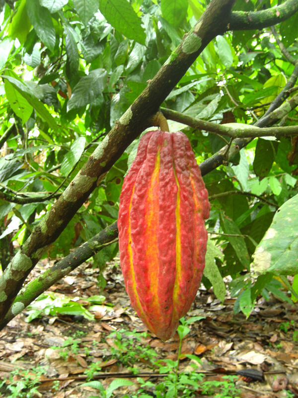 cocoa bean essay Chocolate making is a complex process of fermenting, drying, roasting, and then processing cocoa beans from the theobroma cacao tree.