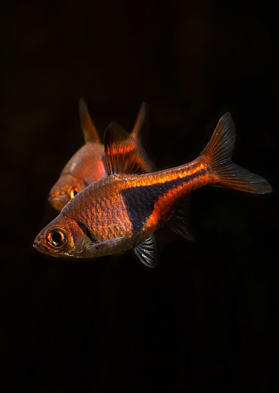 Rasbora Harlequin Rasbora Live Fish Fish Diy Fish Tank