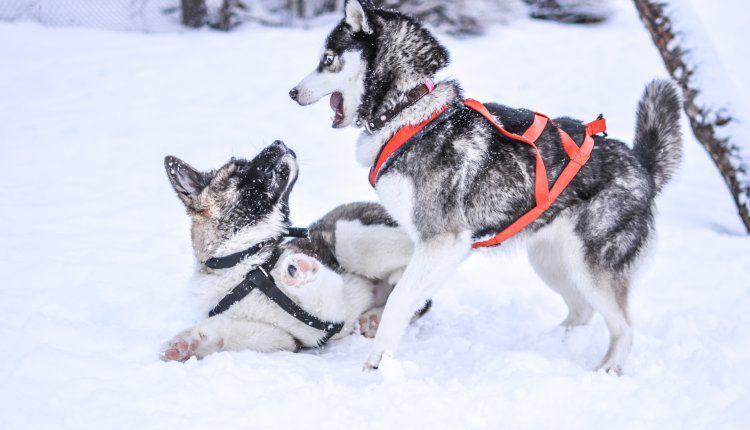 Best Harness For Siberian Husky 2020 Ultimate Guide Training