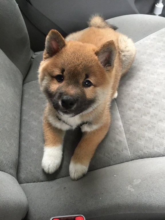Cute Shiba Inu Puppies | Cutest shiba inu puppy? Ask me anything! : aww | Cute puppies, Cute little animals, Cute animals