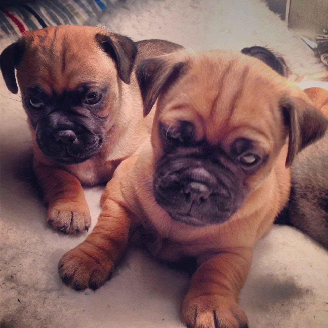 Jug Puppies Jug Puppies Cute Puppies