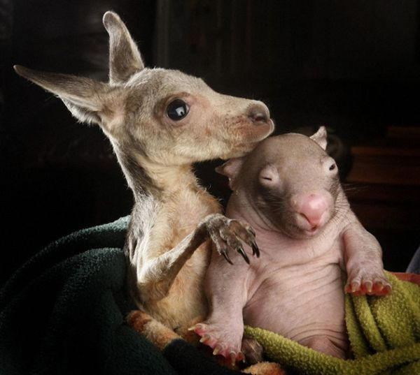 Then, the rescue had a great idea. They decided to introduce Anzac, the kangaroo, to Peggy the wombat.
