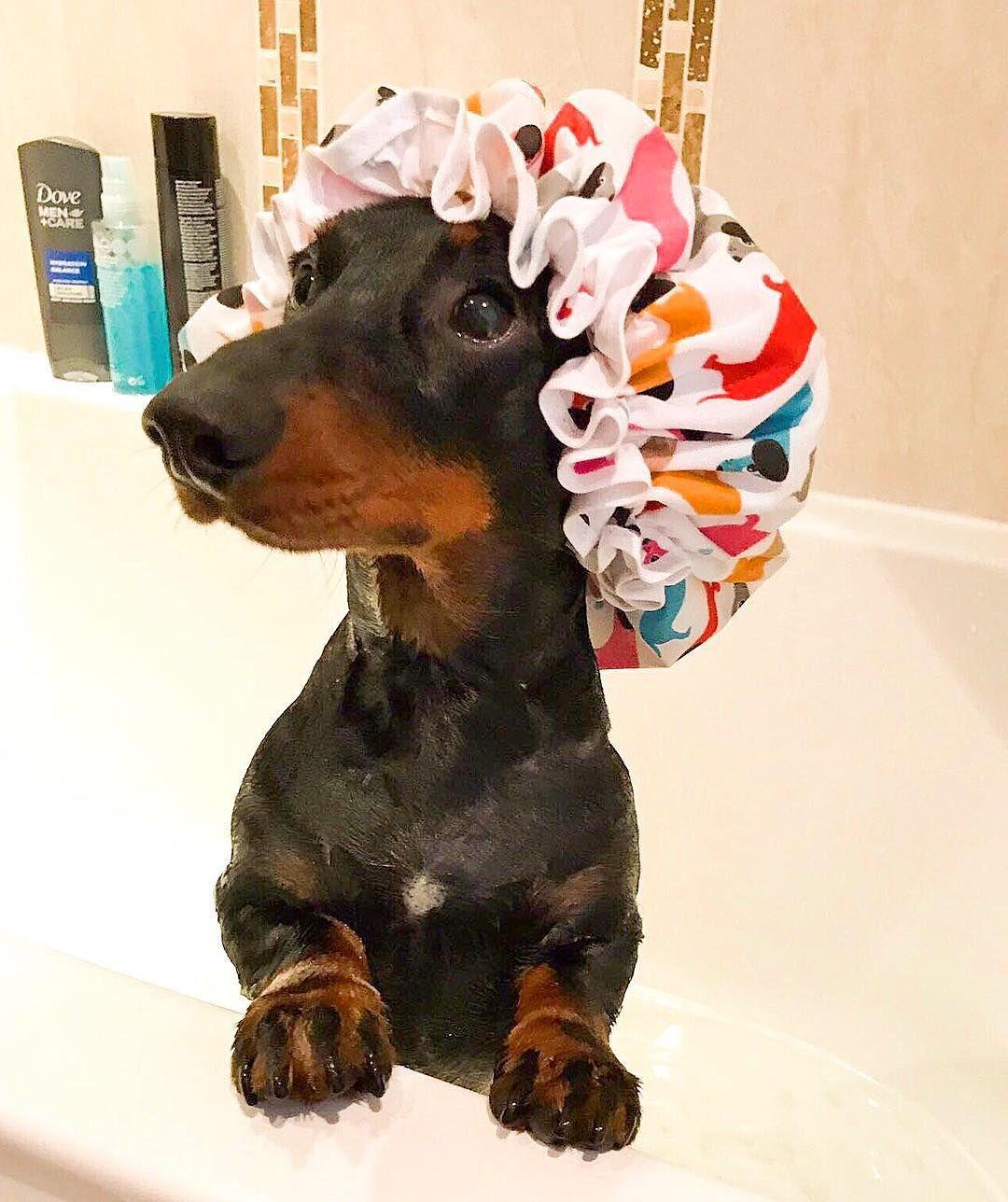 Adorable Dachshund Getting A Bath Cute Dogs Dachshund Dog
