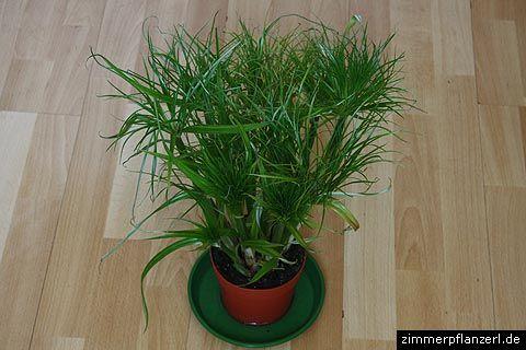 cyperus papyrus verde pinterest cyperus papyrus. Black Bedroom Furniture Sets. Home Design Ideas