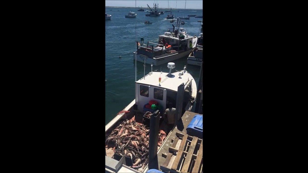 Chatham Fish Pier and Grey Seals. Cape Cod Fisherman at work!