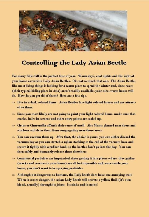 how to get rid of asian beetles in your home