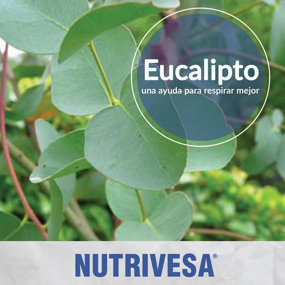El uso del eucalipto como planta medicinal es - Informacion sobre el eucalipto ...