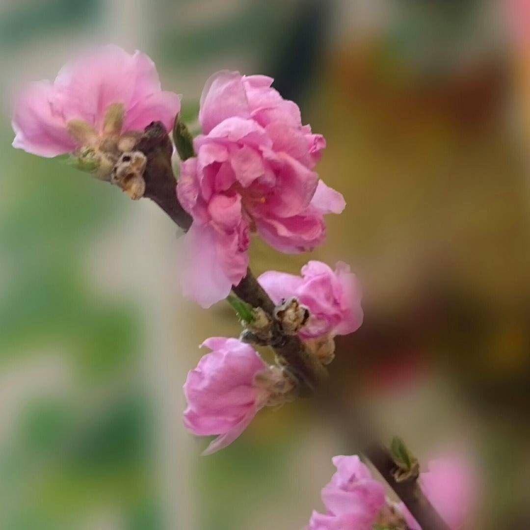 桃の花 #flowers #flower #floweroftheday #japan #nature #nature_perfection #naturechallenge #beautiful #花 #自然 (by non.mama.3)