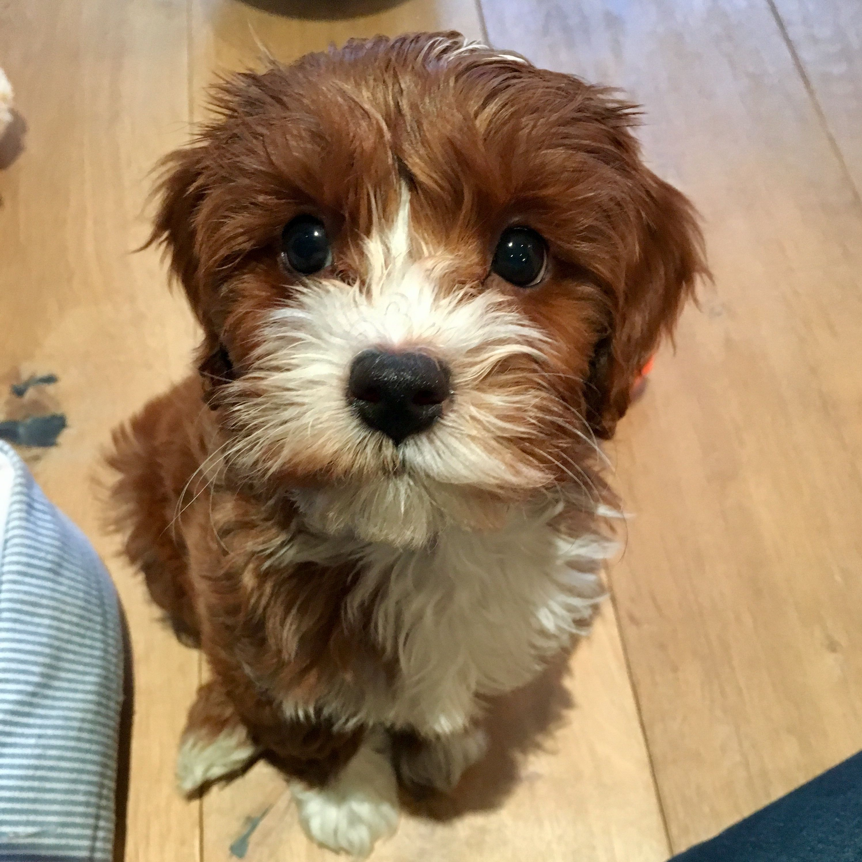 Charlie Cavapoo Cavoodle 2 Months Old Cavapoo Doggy 2 Month Olds