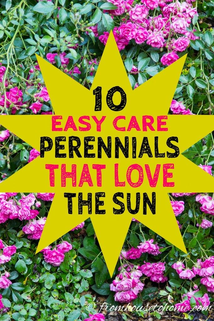 Full Sun Perennials 15 Beautiful Low Maintenance Plants That Thrive In The Sun Gardening From House To Home Full Sun Perennials Sun Perennials Perennials
