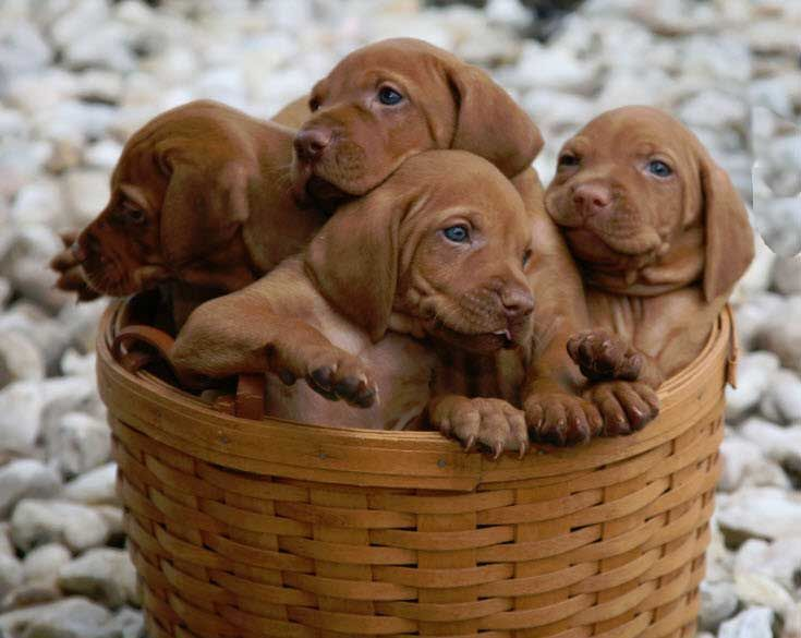 Valley Hunter Vizslas Vizsla Puppies (With images