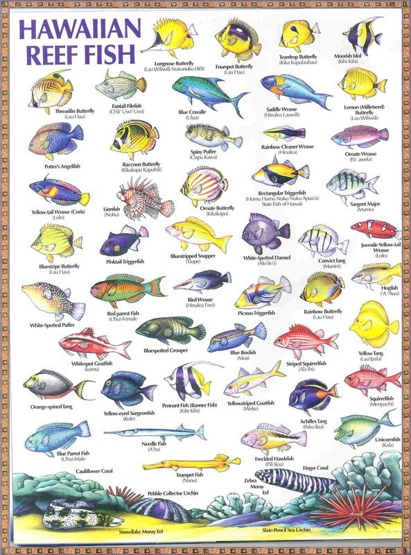 Hawaiian reef fish i 39 ve seen all of these can 39 t wait to for All fish names