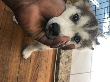 Siberian Husky Puppy For Sale In Brooklyn Ny Adn 41243 On