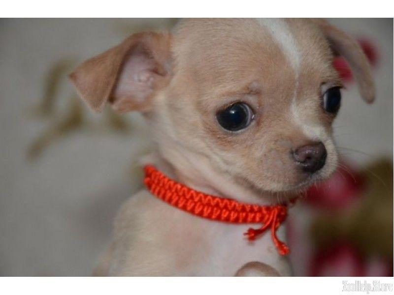 Chihuahua Canada Puppies Chihuahua For Sale Chihuahua Canada
