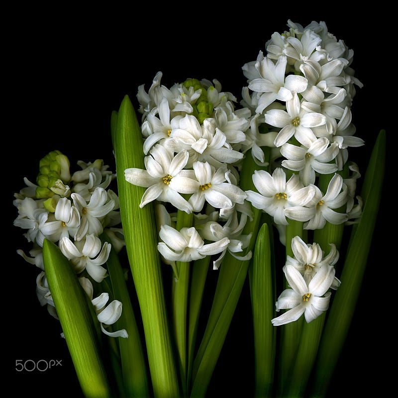 Fairy Tale Flowers The Name Hyacinth Comes From The Greek Hyakinthos A Handsome Young Man Who In Greek Mythology Was Lo White Hyacinth Hyacinth Pretty Flowers