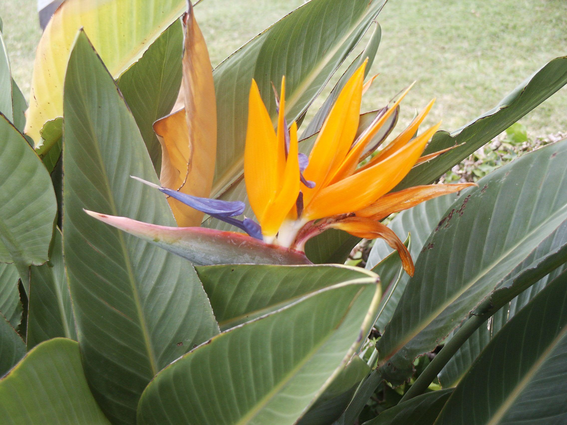 Beautiful Bird of Paradise on Hickam Air Force Base, Oahu